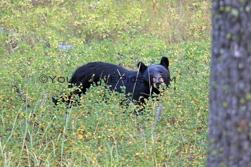 2019-09-09_338_Yellowstone_Slough Creek_Black Bear.JPG