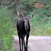 2019-09-12_607_Tetons_Two Ocean Lake_Moose.JPG