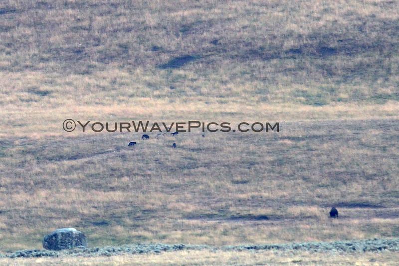 2019-09-09_321_Yellowstone_Lamar Valley_Wolves.JPG