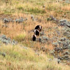 2019-09-10_402_Yellowstone_Lamar Valley_Grizzly Sow_2 Cubs.JPG