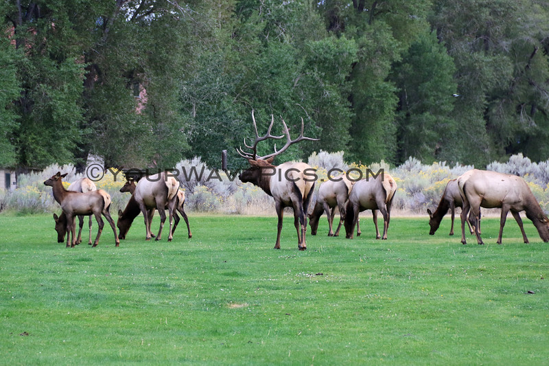 2019-09-10_441_Yellowstone_Mammoth Hot Springs_Elk.JPG