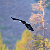 2019-09-12_739_Tetons_Bald Eagle.JPG