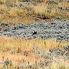 2019-09-10_357_Yellowstone_Lamar Valley_Black Wolf.JPG