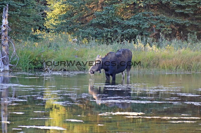 2019-09-15_958_Tetons_Schwabacher Landing_Moose.JPG