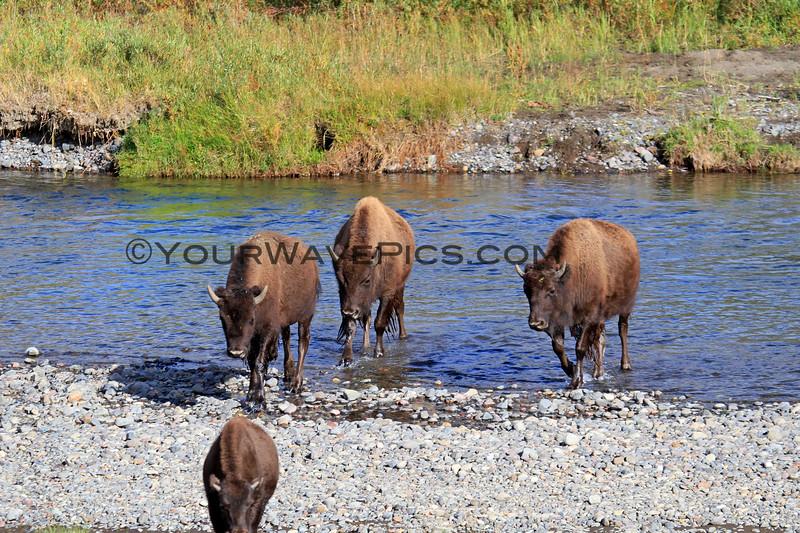 2019-09-07_247_Yellowstone_Lamar Valley_Bison.JPG