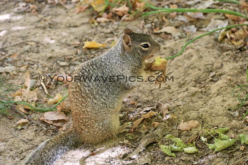 2019-09-26_1606_Utah_Zion_Riverside Walk_Squirrel.JPG