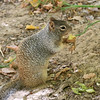 2019-09-26_1606_Utah_Zion_Riverside Walk_Squirrel.JPG