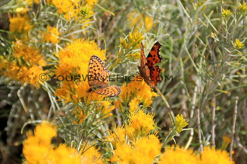 2019-09-15_909_Gros Ventre River_Butterflies.JPG