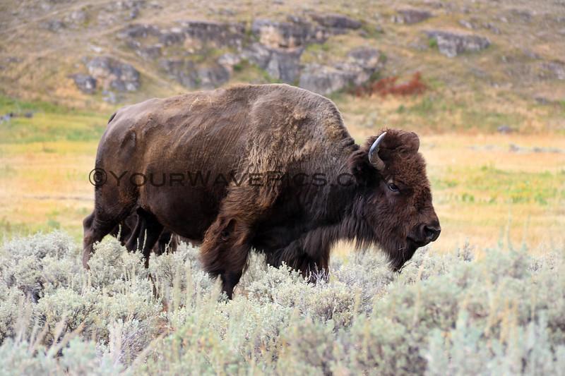 2019-09-07_230_Yellowstone_Lamar Valley_Bison.JPG