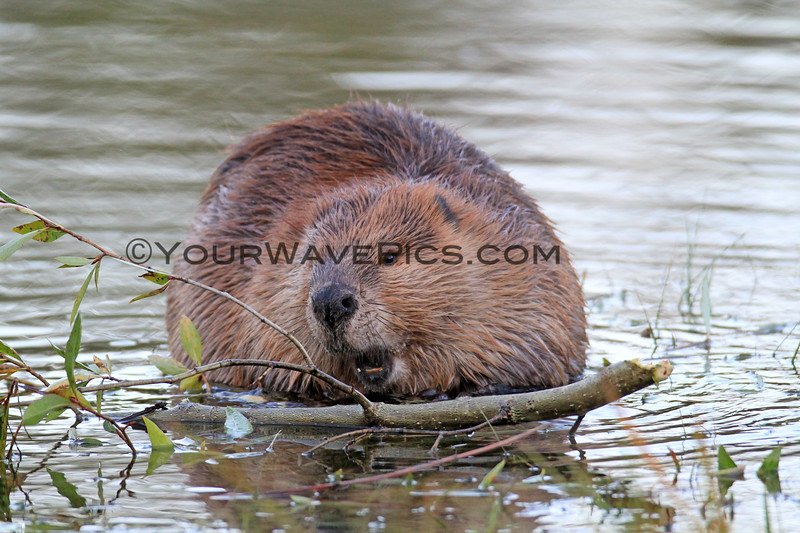 2019-09-12_706_Tetons_Beaver_Eating Bark.JPG