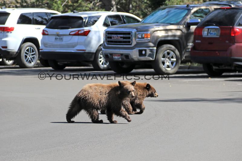 2019-09-14_843_Tetons_Jenny Lake_Brown Bear Cubs.JPG
