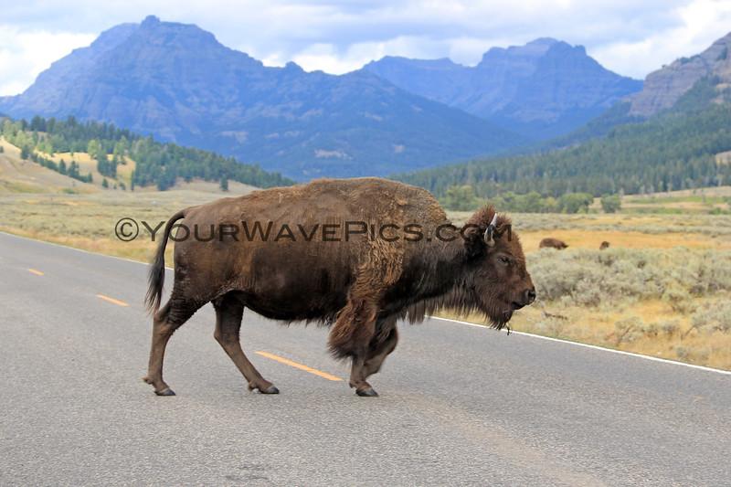 2019-09-07_232_Yellowstone_Lamar Valley_Bison.JPG