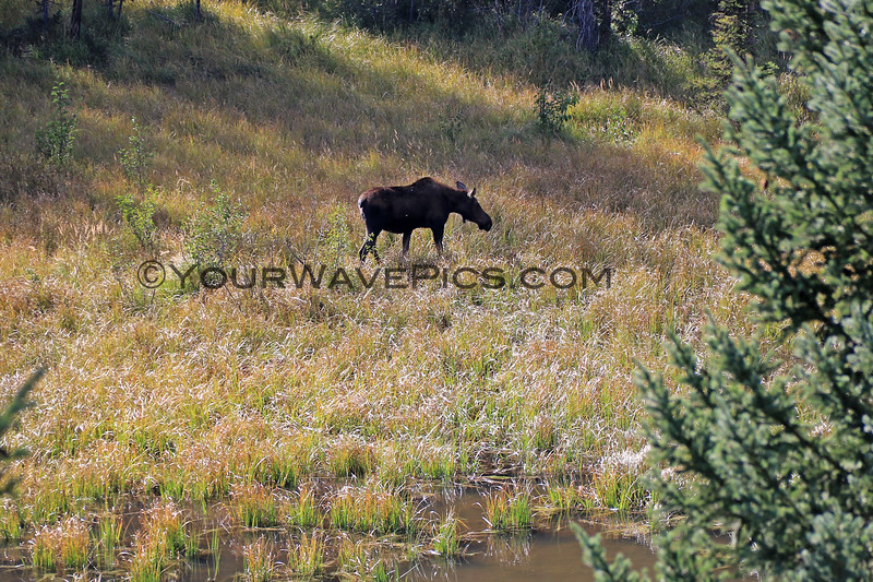 2019-09-14_862_Tetons_Moose Ponds_Moose Cow.JPG