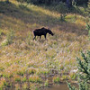 2019-09-14_862_Tetons_Moose Ponds_Moose Cow.JPG