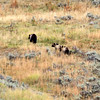 2019-09-10_405_Yellowstone_Lamar Valley_Grizzly Sow_2 Cubs Ed.jpg