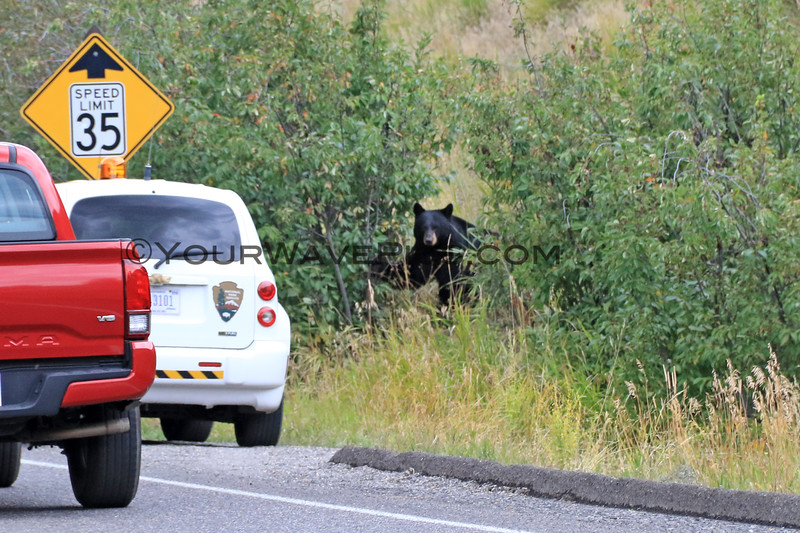 2019-09-10_425_Yellowstone_Roosevelt_Black Bear.JPG