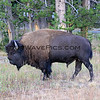 2019-09-05_74_Yellowstone_Bison.JPG