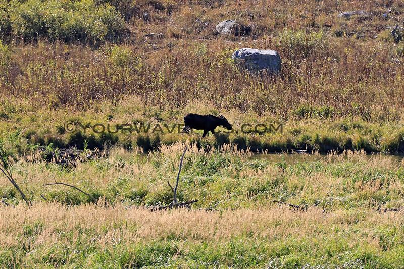 2019-09-14_866_Tetons_Moose Ponds_Moose Cow.JPG