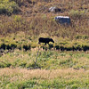 2019-09-14_866_Tetons_Moose Ponds_Moose Cow.JPG