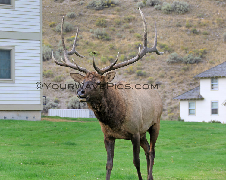 2019-09-10_434_Yellowstone_Mammoth Hot Springs_Bull Elk.JPG