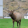 2019-09-10_434_Yellowstone_Mammoth Hot Springs_Bull Elk.JPG