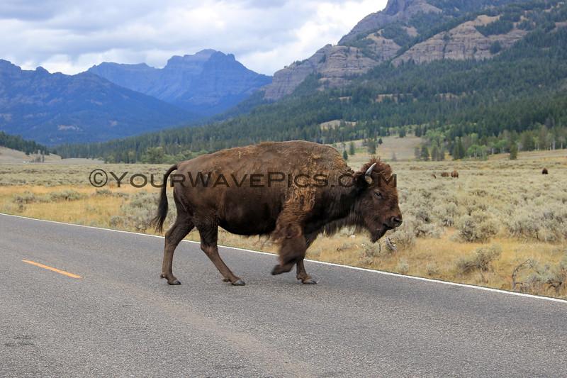 2019-09-07_233_Yellowstone_Lamar Valley_Bison.JPG