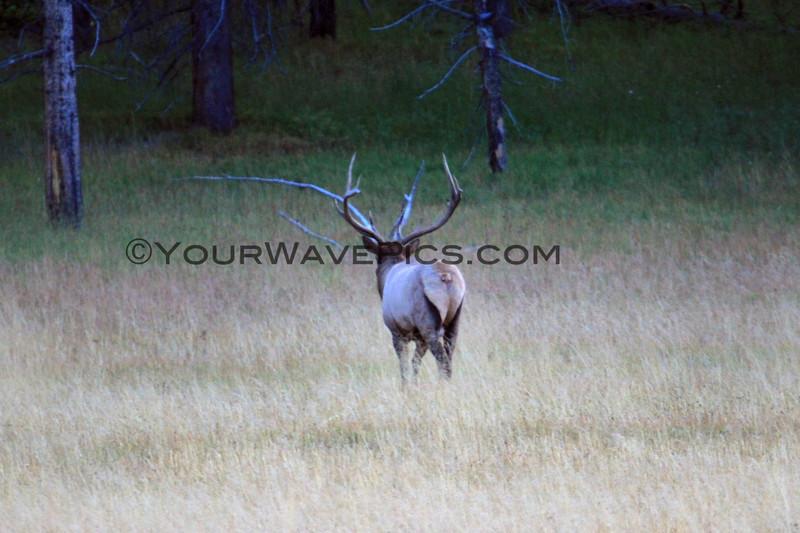 2019-09-07_286_Yellowstone_Bull Elk.JPG