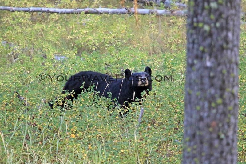 2019-09-09_339_Yellowstone_Slough Creek_Black Bear.JPG