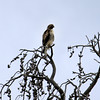 2019-09-10_416_Yellowstone_Lamar Valley_Hawk.JPG