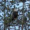 2019-09-12_735_Tetons_Bald Eagle.JPG