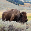 2019-09-07_231_Yellowstone_Lamar Valley_Bison.JPG
