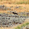 2019-09-10_415_Yellowstone_Lamar Valley_Black Wolf.JPG
