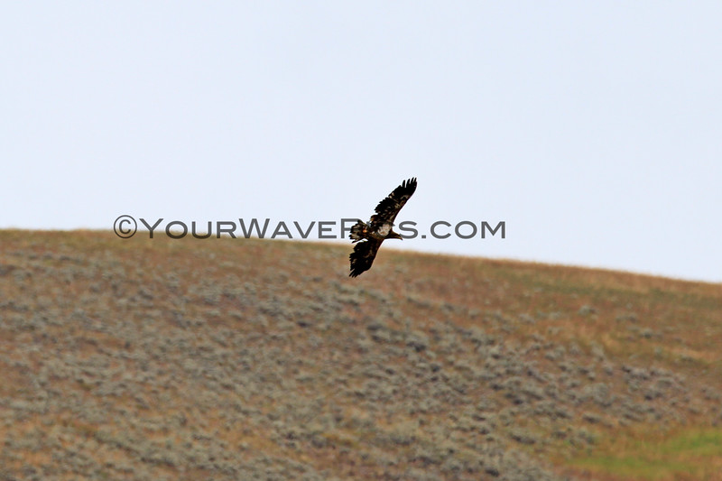 2019-09-10_395_Yellowstone_Lamar Valley_Hawk.JPG