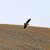 2019-09-10_395_Yellowstone_Lamar Valley_Hawk.JPG
