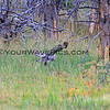 2019-09-05_40_Yellowstone_Great Grey Owl.JPG