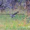 2019-09-05_40_Yellowstone_Great Grey Owl.JPG