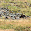 2019-09-10_371_Yellowstone_Lamar Valley_Grizzly Sow_2 Cubs.JPG