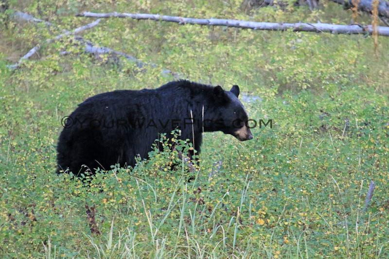 2019-09-09_334_Yellowstone_Slough Creek_Black Bear.JPG