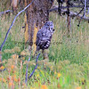 2019-09-05_52_Yellowstone_Great Grey Owl.JPG