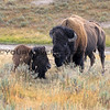 2019-09-05_28_Yellowstone_Bison.JPG