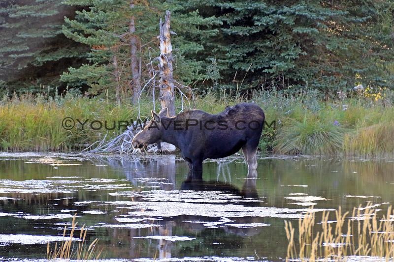 2019-09-15_960_Tetons_Schwabacher Landing_Moose.JPG