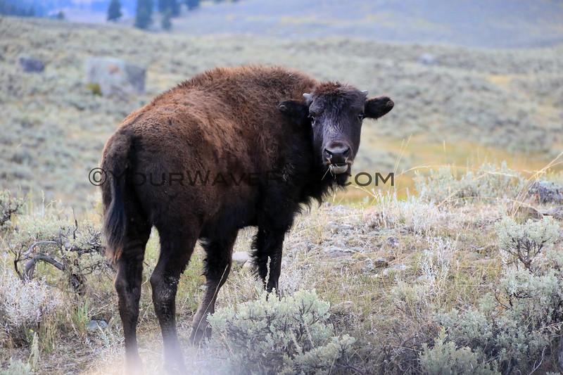 2019-09-07_269_Yellowstone_Lamar Valley_Bison.JPG