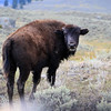 2019-09-07_269_Yellowstone_Lamar Valley_Bison.JPG