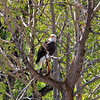 2019-09-15_893_Gros Ventre River_Bald Eagle.JPG