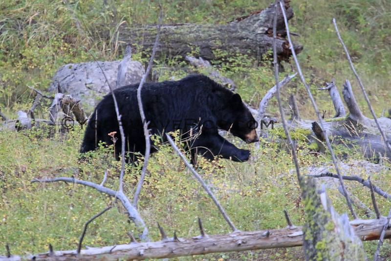 2019-09-09_343_Yellowstone_Slough Creek_Black Bear.JPG