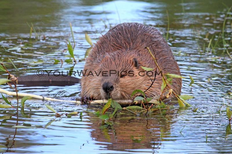 2019-09-13_810_Tetons_Beaver_Eating Bark.JPG