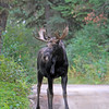 2019-09-12_599_Tetons_Two Ocean Lake_Moose.JPG