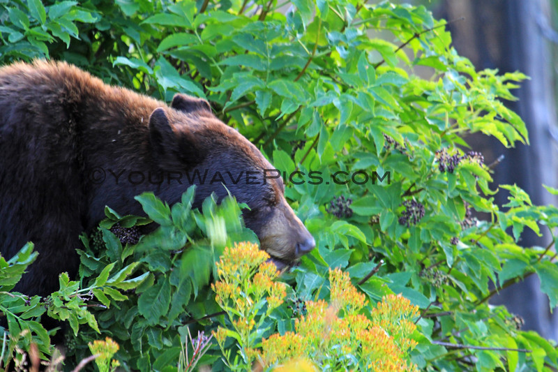 2019-09-07_283_Yellowstone_Dunraven_Black Bear.JPG