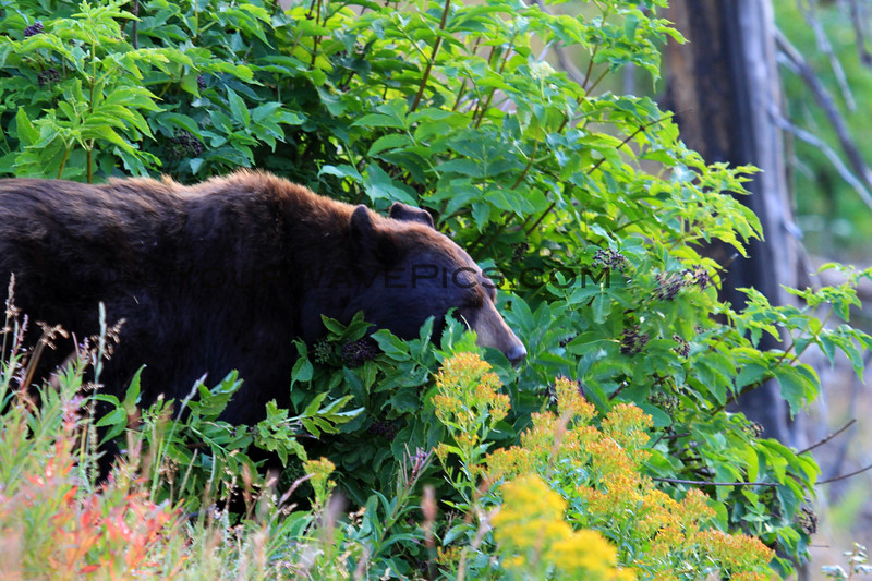 2019-09-07_281_Yellowstone_Dunraven_Black Bear.JPG