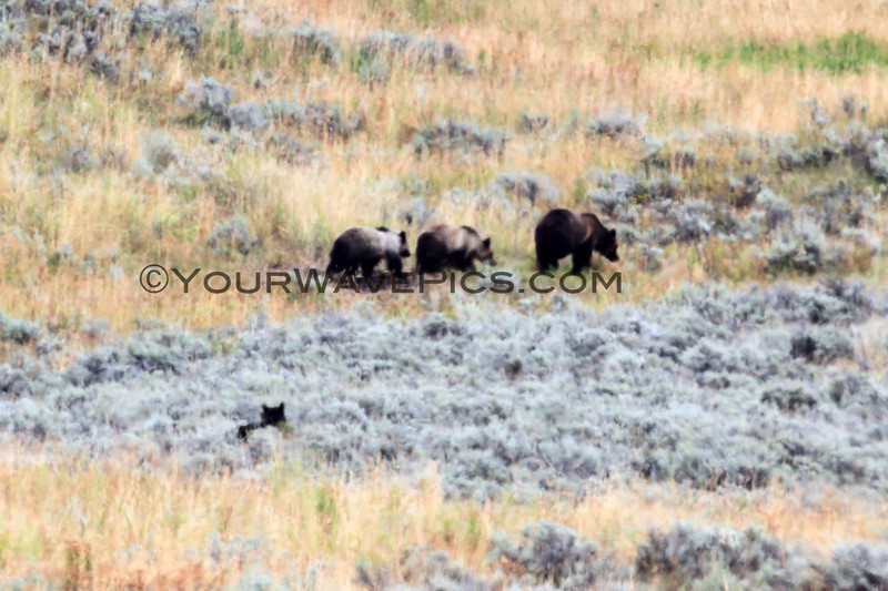 2019-09-10_380_Yellowstone_Lamar Valley_Grizzly Sow_2 Cubs_Wolf.JPG